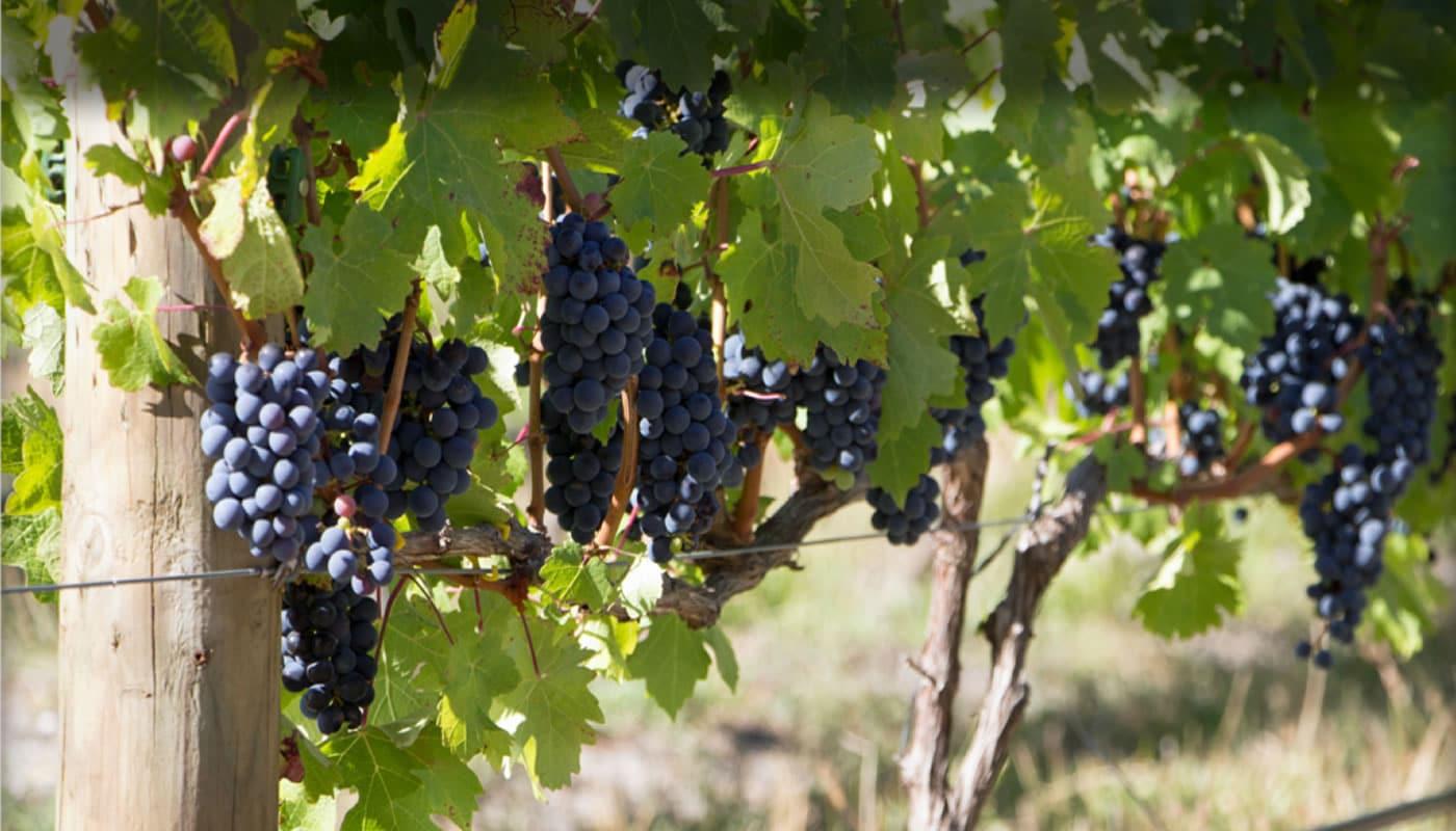 La riqueza de la tierraLos viñedos